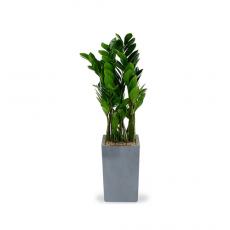 관엽식물-금전수-53